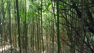 foresta di bambù?