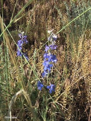 larkspur, Delphinium sp.