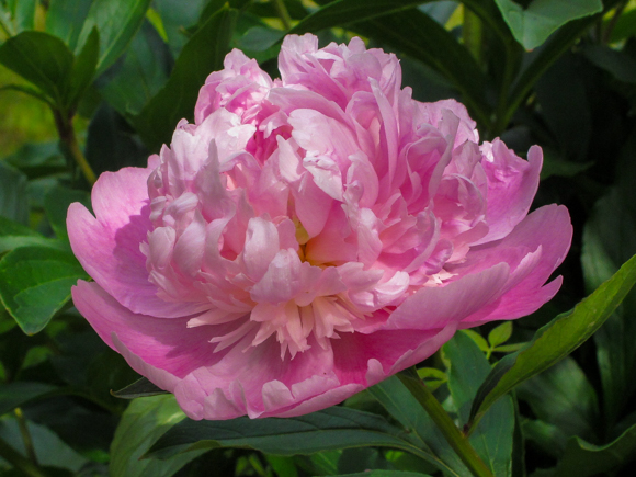 A beautiful pink Peony, just one of the many fragrant flowers at Hever Castle