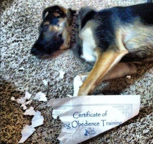 Собака с сертификатом послушания