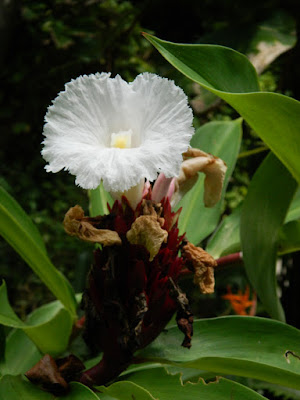 Crepe ginger Costus speciosus at Diamond Botanical Gardens Soufriere St. Lucia by garden muses-not another Toronto gardening blog