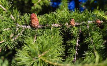 Wallpaper: Pine cones
