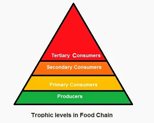 There are various series of organisms feeding on one another. These series of organisms taking part in various biotic levels form food chain. The steps or levels of the food chain are called trophic levels.