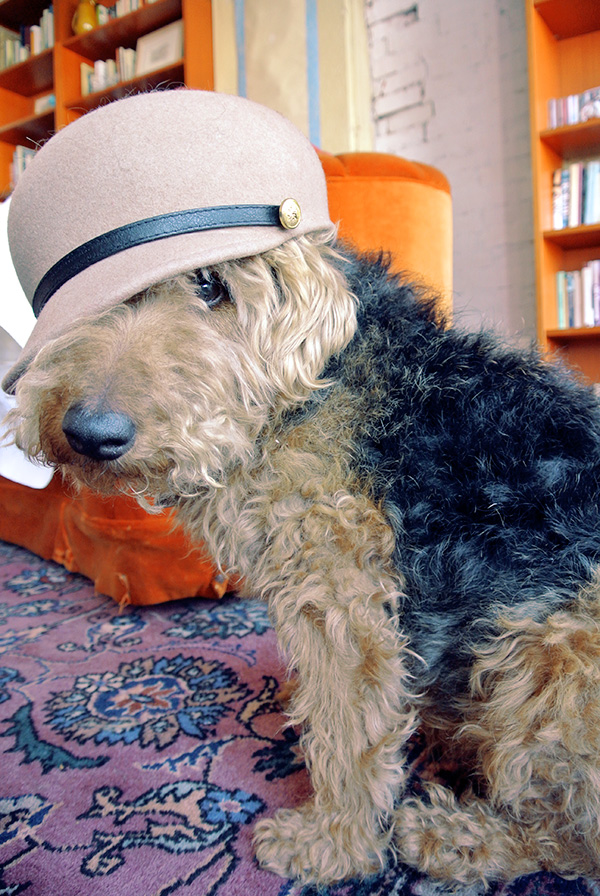 Stylish Welsh Terrier with beige wool round melon hat, fashionable dog