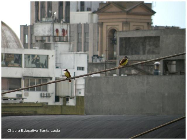Benteveos en la ciudad - Chacra Educativa Santa Lucía