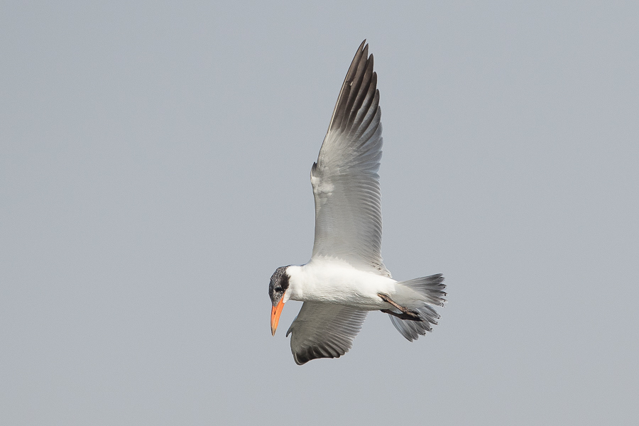 Caspian Terns fishing – Jubail