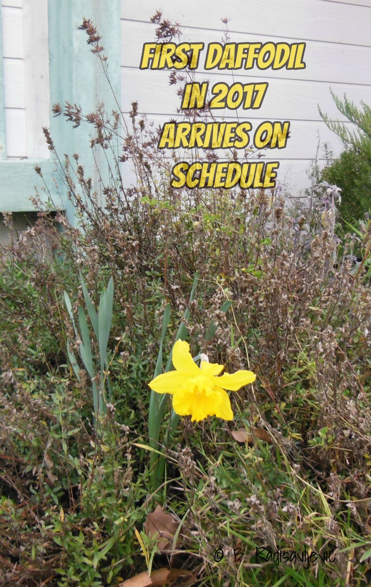First Daffodil in 2017 Arrives on Schedule
