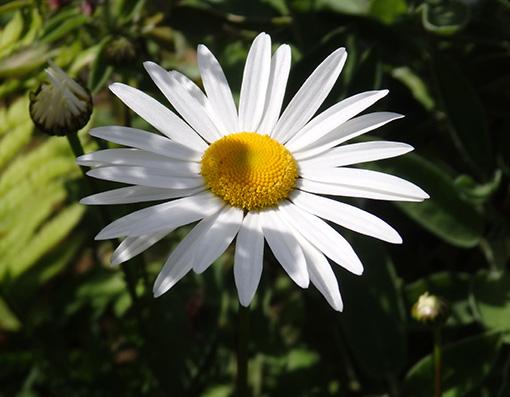 MARGARITA MAYOR (Leucanthemum Vulgare): Preciosa Flor