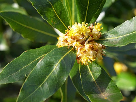 Flores del laurel