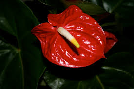 anthurium%2Bandreanum%2Bsingle%2Bflower.