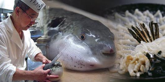 Hasil gambar untuk ikan fugu