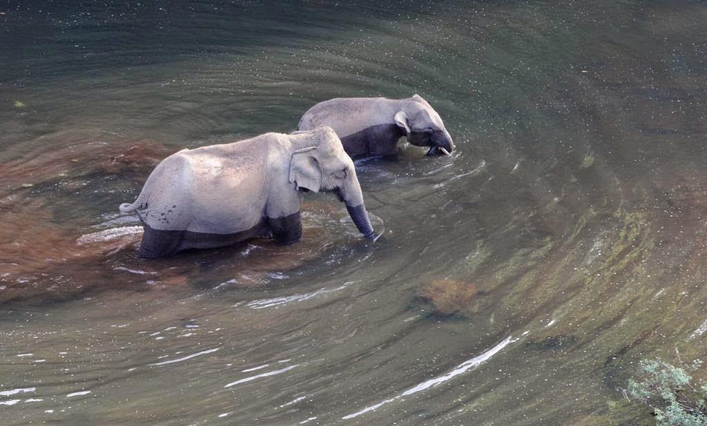 traversée rivière éléphant inde du sud