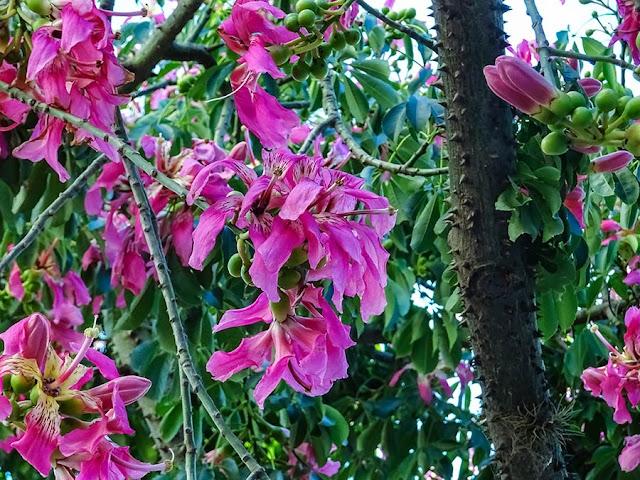 Palo borracho con flores y ramas con espinas.