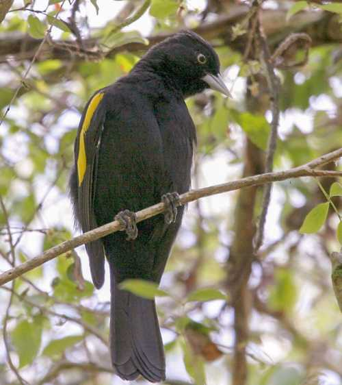 South American bird - Image of Golden-winged cacique - Cacicus chrysopterus