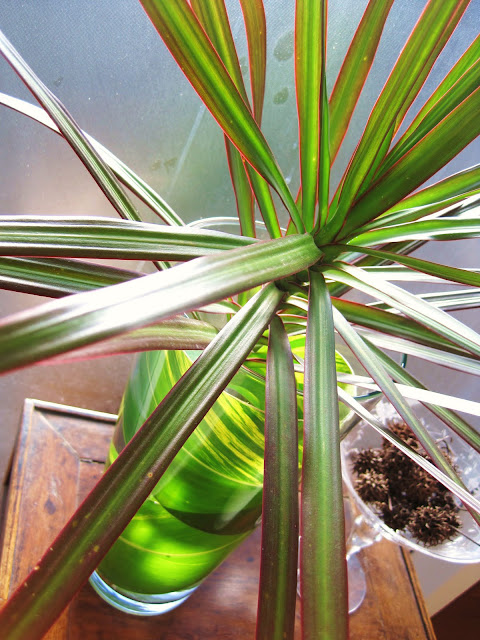 Using Free Foliage From the Garden to Brighten Up Your Home, Dracaena marginata tricolour with Variegated Ginger Alpina zerumbet `Variegata` plant leaves