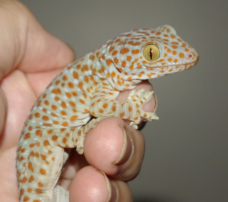 Holding a tokey gecko.