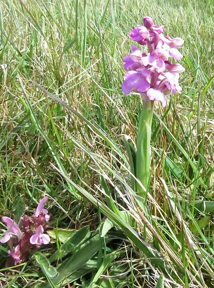 Variété de l'Orchis bouffon de couleur rose