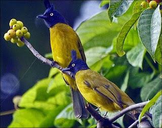 burung cucak (Burung Merbah)