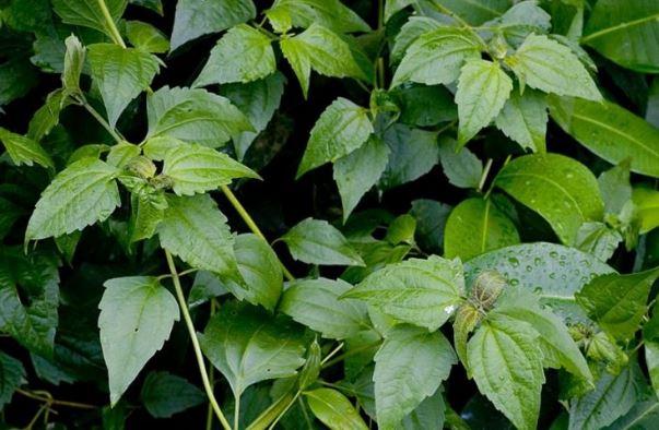 Tanaman Balakacida ialah suatu tumbuhan yang termasuk dalam salah satu jenis tumbuhan gulma a Manfaat Daun Balakacida Untuk Mengobati Penyakit Lengkap Dengan Kandungan Dan Cara Mengolahnya