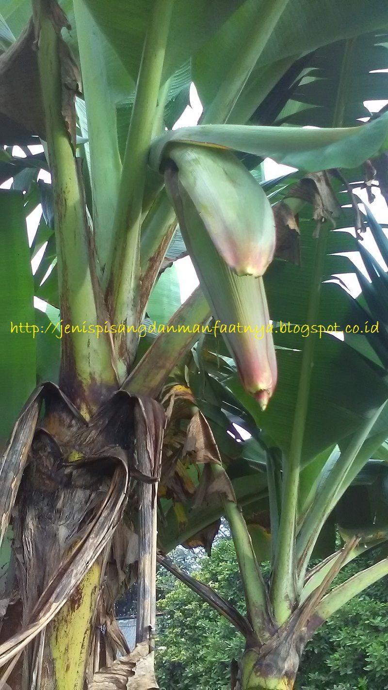 Pisang Pendek Berbuah-Pohon pisang raja ijo selendang mengeluarkan jantung