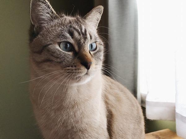 シャムトラ猫