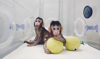 clone monkeys