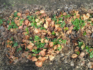 Клубника после зимы