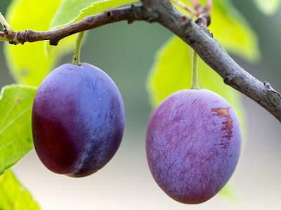 buah plum, manfaat buah plum, manfaat buah plum untuk kesehatan, kandungan gizi buah plum, kandungan nutrisi buah plum,