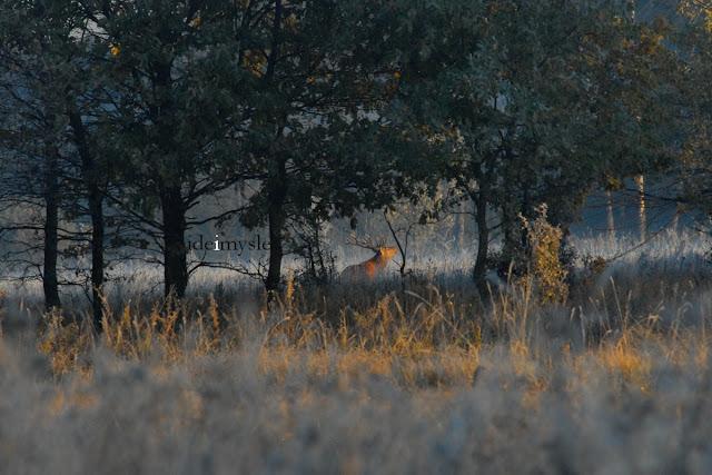 rykowisko, jeleń szlachetny, cervus elaphus, red deer, wrzesień, październik, byk, poroże, łania