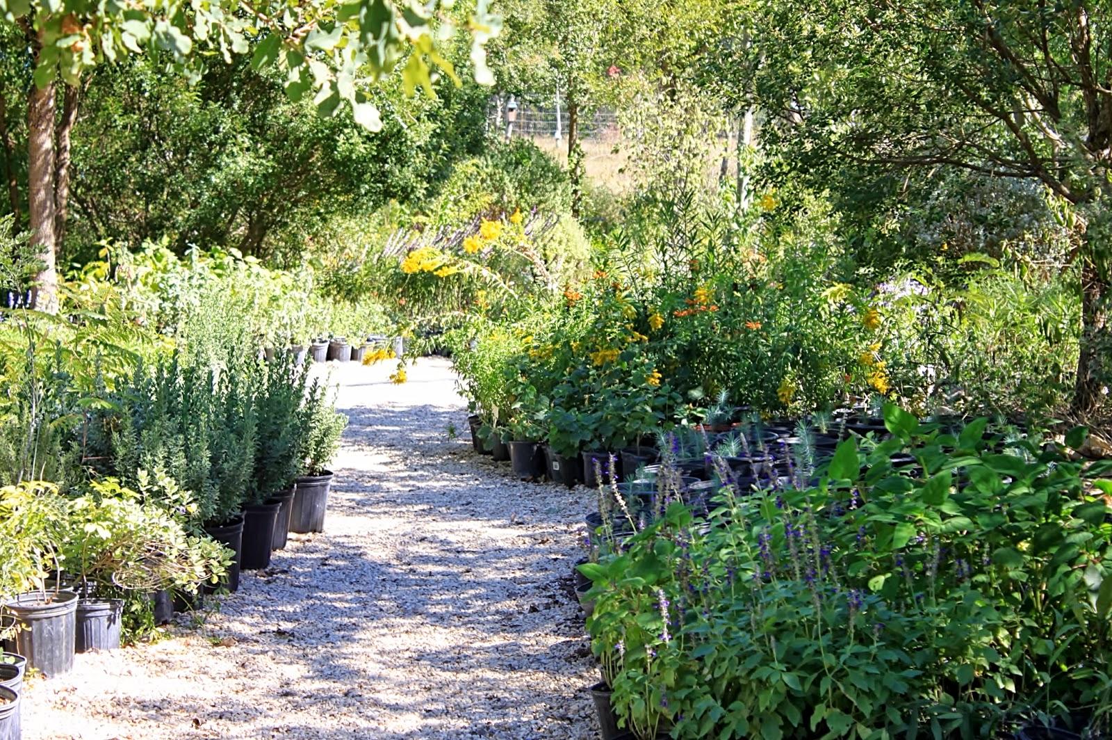 Rock Oak Deer Medina Garden Nursery For Texas Native Plant Week