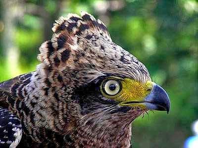 Dunia Burung Elang 16 Jenis Burung Elang Di Pulau Jawa