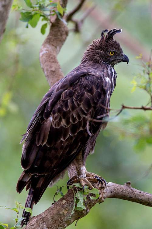 Indian birds - Picture of Changeable hawk-eagle - Nisaetus cirrhatus
