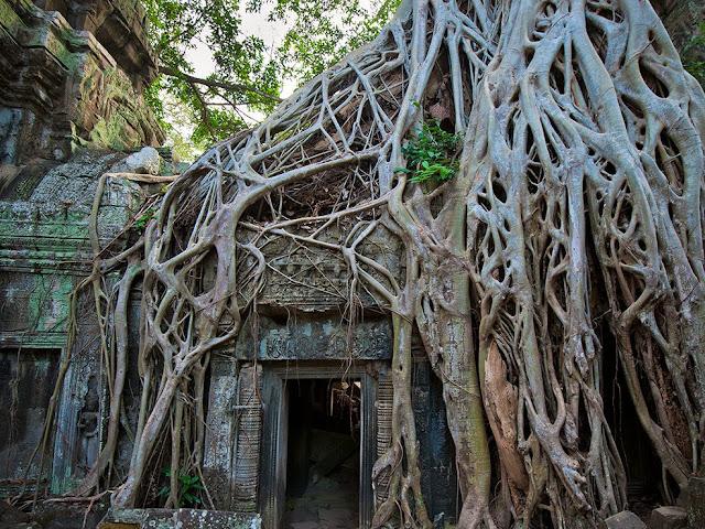Radici di Ficus rumphii - Tempio di Ta Prohm