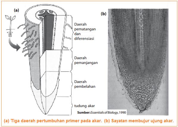 Gambar Tiga daerah pertumbuhan primer pada akar