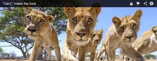 Hình ảnh đàn sư tử cận cảnh trước đầu ống kính