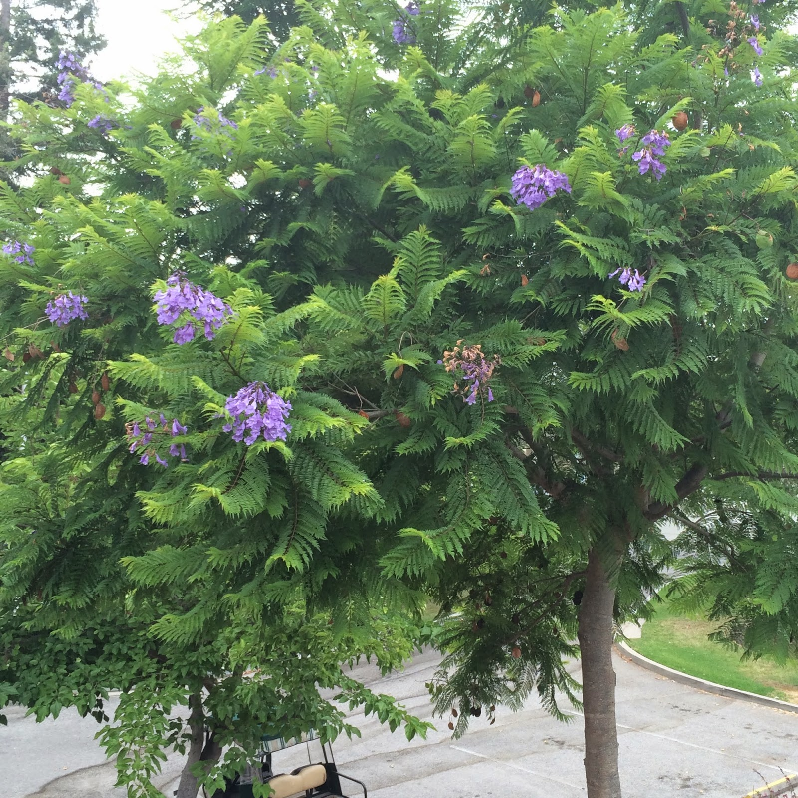Trees of Santa Cruz County: Jacaranda mimosifolia - Jacaranda