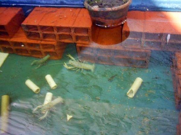 Cara Merawat Lobster Air Tawar