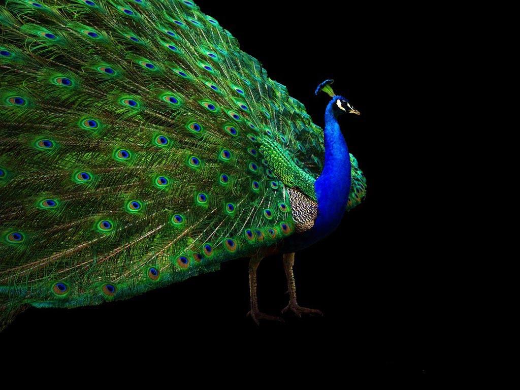 Desktop Nature wallpaper: Indian Blue Peacock Free ... - photo#43
