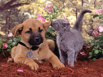Puppy and grey kitten sitting together