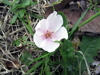 地面に落下した桜の花