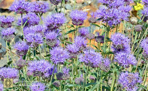 California Showy Milkweed, Asclepias speciosa