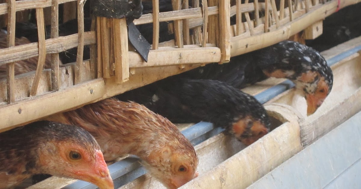 Cara Membuat Kandang Sederhana - Ayam Kampung Banyuwangi