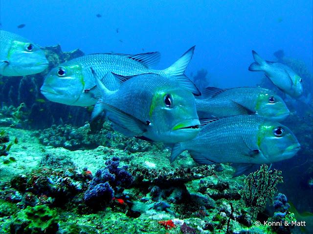 goatfish, andaman sea, el nino, india, havelock