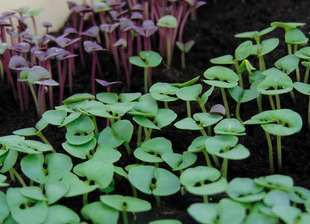 Sadzimy zioła w doniczce :  bazylia