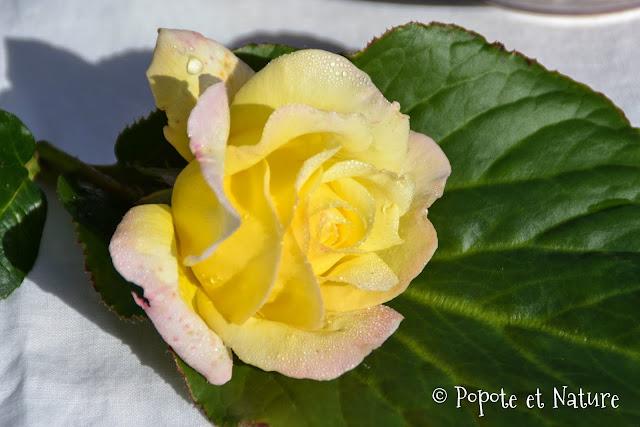rose jaune légèrement rose avec de la rosée