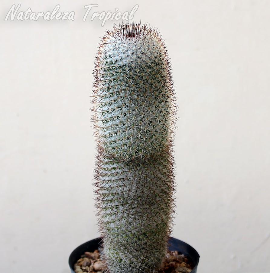Cactus biznaga colombiana en maceta, Mammillaria columbiana
