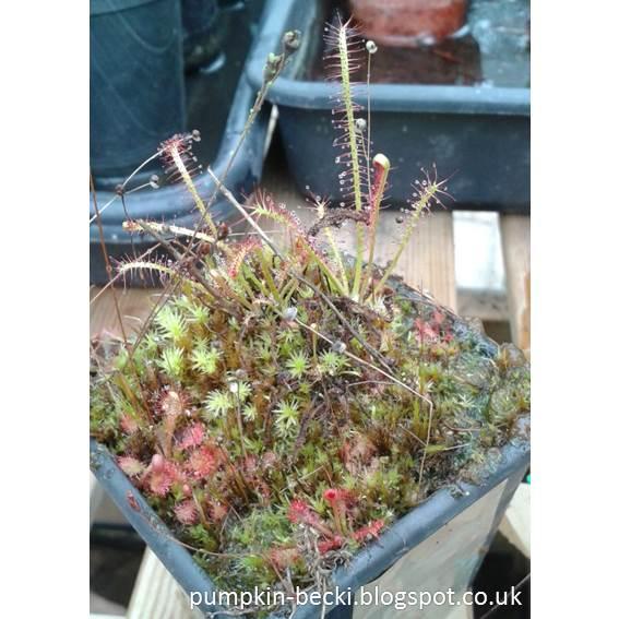 Triffid Nurseries Carnivorous Plants unboxing Drosera hybrida filiformis intermedia