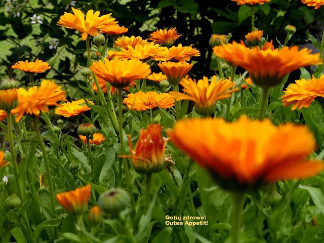 Nagietki - kwiaty słońca (suszenie, olejek nagietkowy) - Czytaj więcej »