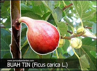 Buah Tin (Ficus carica L.)