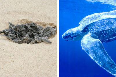 Las tortugas hembras van a playas de noche, donde depositan sus huevos el huecos escavadas por ellas misma